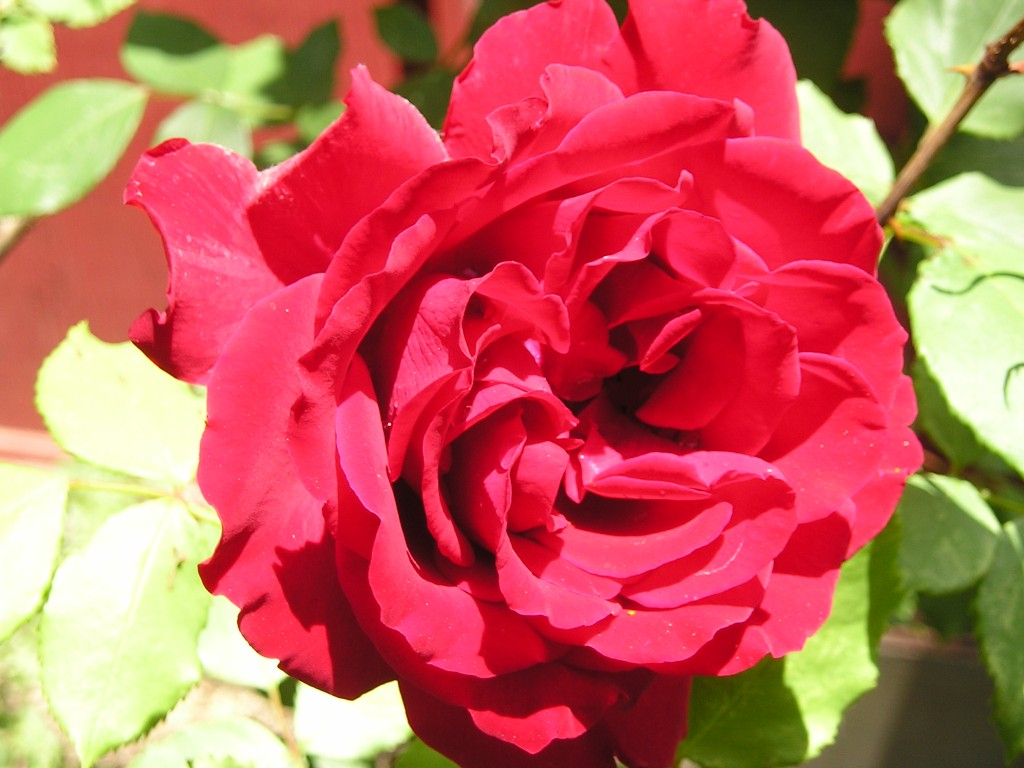 How To Grow Great Roses!