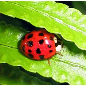 Live-Lady-Bugs