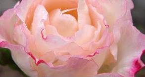 rose_back_yard