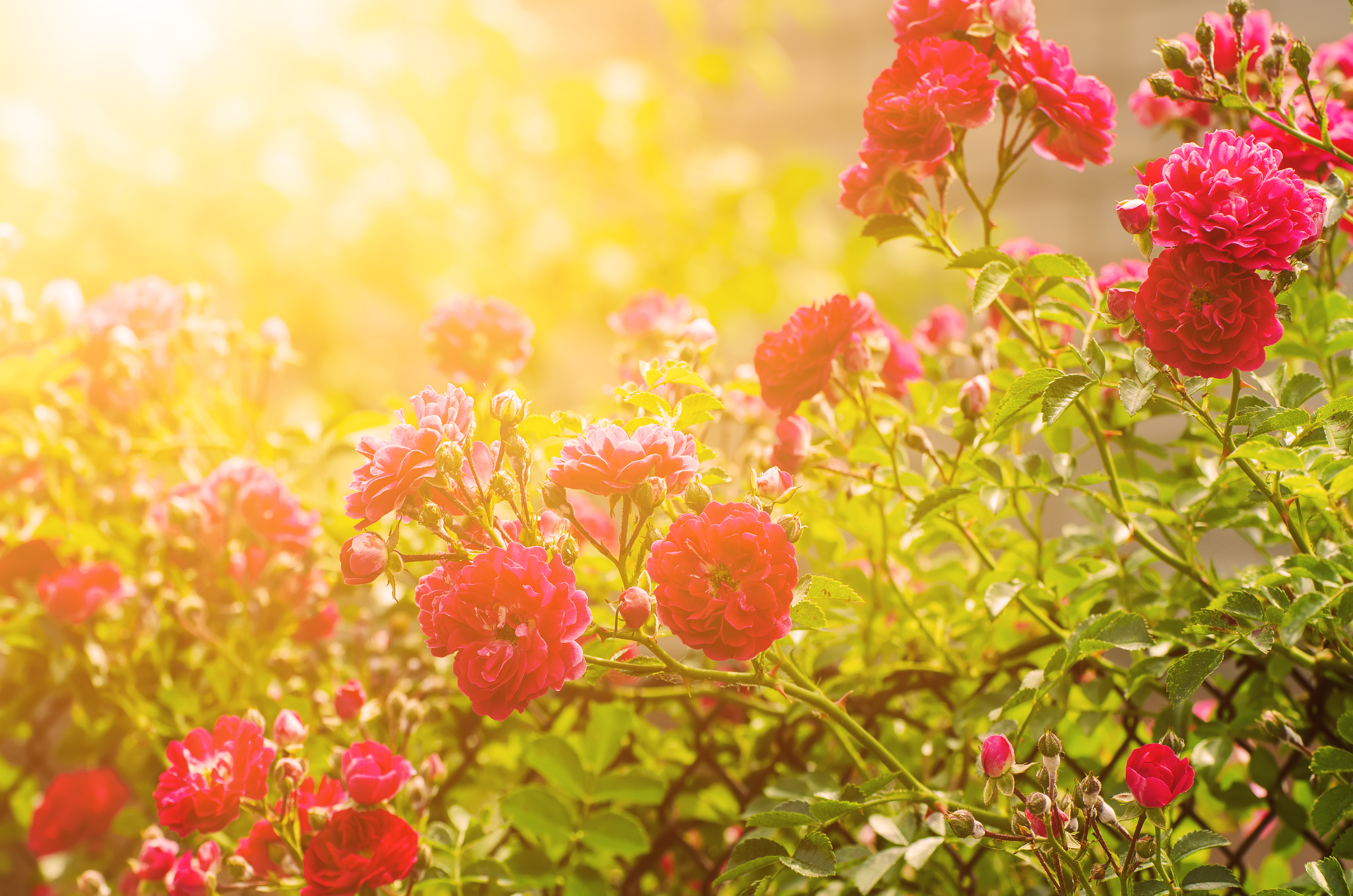 Tips on How to Keep Roses Blooming Throughout the Summer