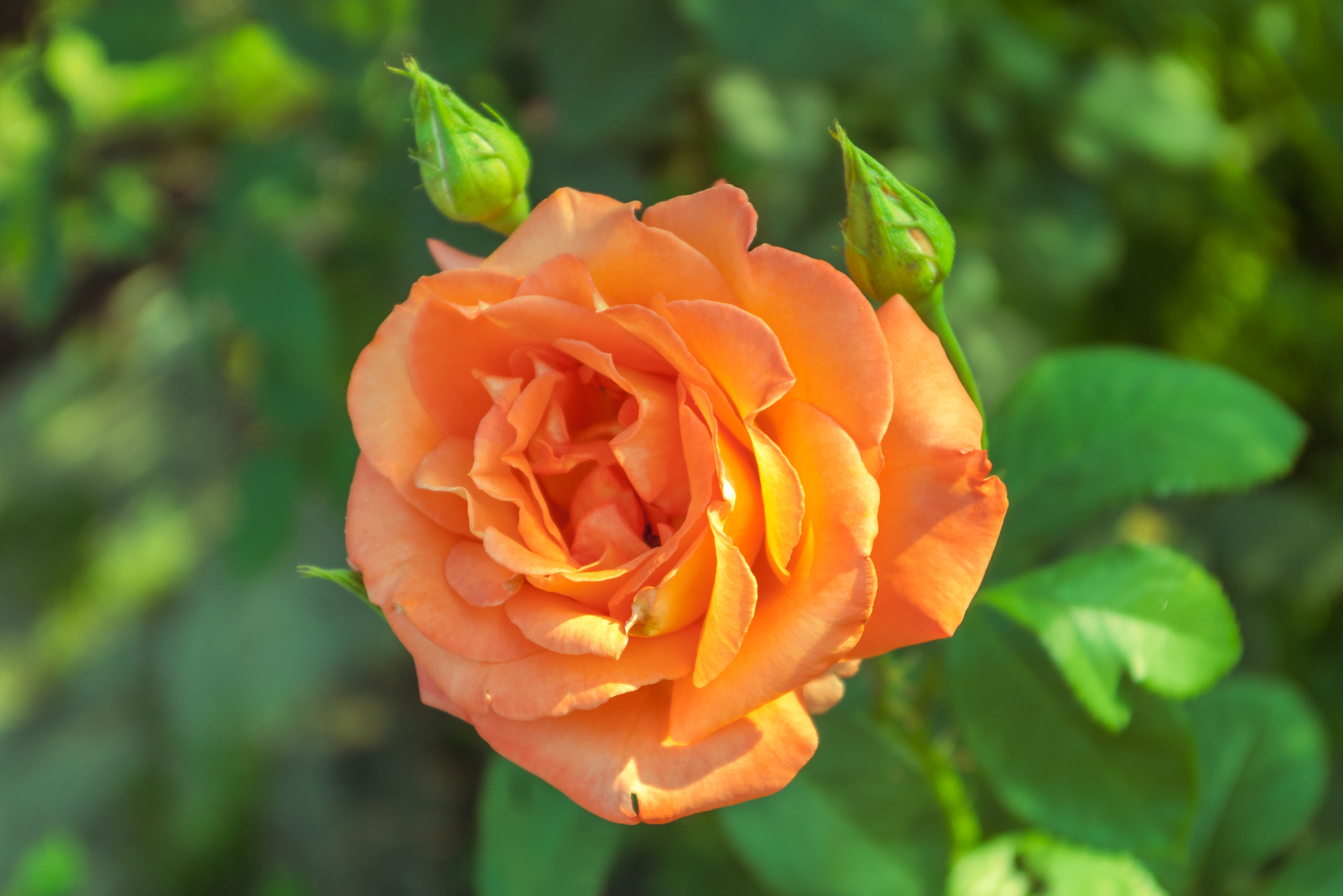 Rose Care Tips: How to Keep Roses Blooming All Summer