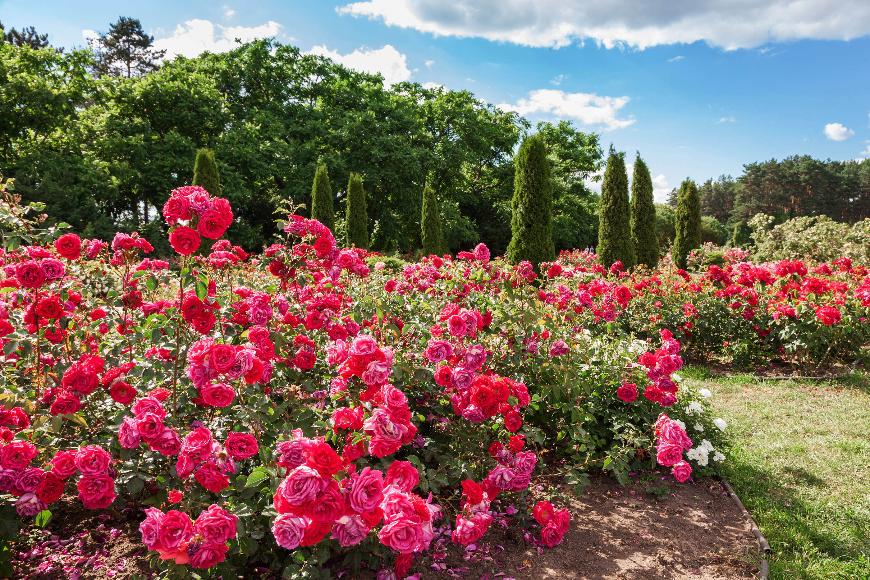 Rose Care: Different Types of Roses You can choose for Your Garden