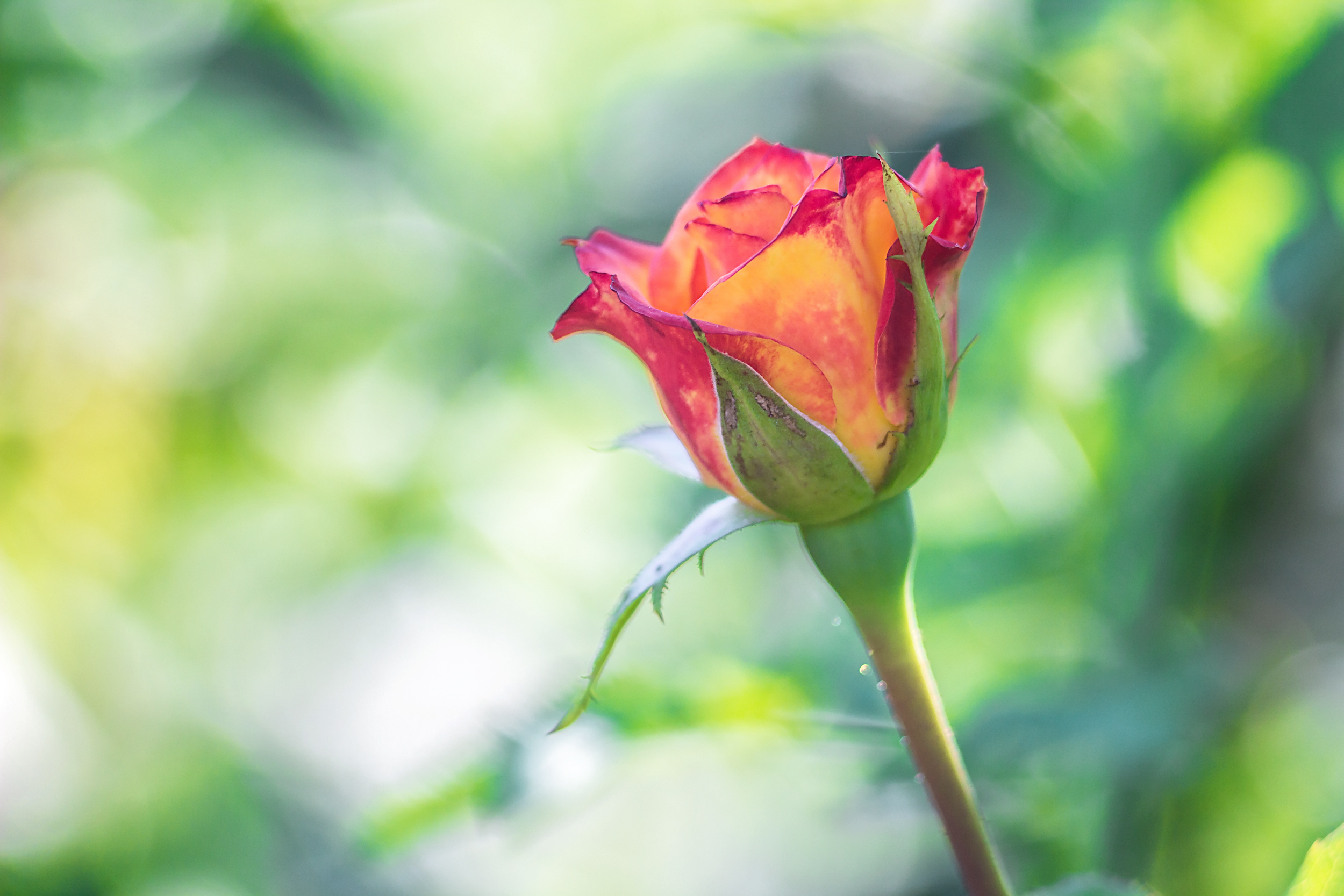 Rose Care: How Do I Keep My Roses Blooming All Summer?